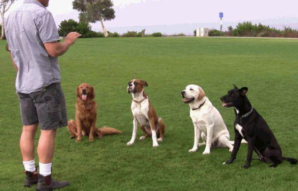 Training » Alpha Labradors Alpha Labradors